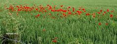 Coquelicots (Nitro76210) Tags: fleurs campagne champ nature vert rouge blé normandie