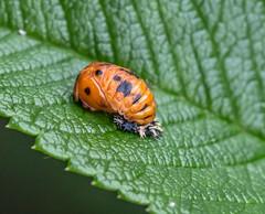 New Adventure. (Omygodtom) Tags: existinglight bug ladybug natural nature nikkor life d7100 detail ngs usgs science macro flickriver explorer flickerfriday