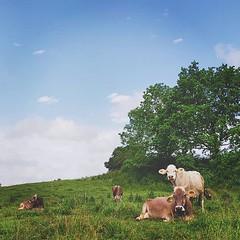 Landschaft mit Kühen (manganite) Tags: ifttt instagram manganite mobile andrography square format