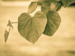 Fading Heart. (Omygodtom) Tags: outside harsh sunlight sunshine leaves heart tamron90mm nikkor natural nature nikon d7100 wild