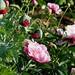 Summer Garden : Juni