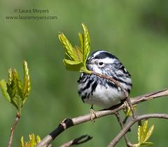 Black and White Warbler (Laura-Meyers) Tags: blackandwhitewarbler greenwoodcemetery