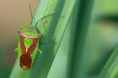 Hawthorn shield bug (Ron and Co.) Tags: shieldbug hawthornshieldbug acanthosomahaemorrhoidale pentatomidae heteroptera insect adult green macro