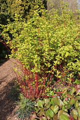Foliage with Red Stems, Cambridge Botanic Gardens, 1st April 2019 (Phil Masters) Tags: 1stapril april2019 cambridgebotanicalgardens botanicalgardens gardens cambridge cambridgeshire cambridgebotanicgardens foliage