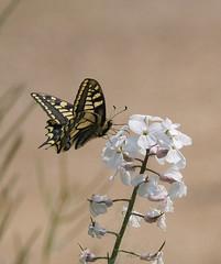 Swallowtail (3) (yvonnepay615) Tags: panasonic lumix gh4 nature butterfly swallowtail rspb strumpshawfen norfolk eastanglia uk coth coth5 ngc npc platinumheartaward