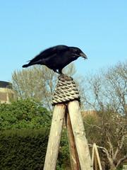 Perching Crow, Cambridge Botanical Gardens, 1st April 2019 (1) (Phil Masters) Tags: 1stapril april2019 cambridgebotanicalgardens botanicalgardens gardens cambridge cambridgeshire cambridgebotanicgardens birds crow