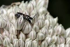 Hylaeus punctulatissimus m - 07 VI 2019 (el.gritche) Tags: hymenoptera france 40 garden colletidae hylaeus hylaeuspunctulatissimus alliumporrum alliaceae male