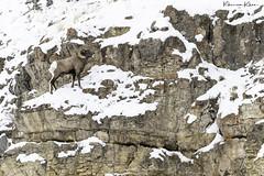 Big horns (Khurram Khan...) Tags: wildlife wildlifephotography wild wwwkhurramkhanphotocom winter snow mammals iamnikon ilovenature ilovewildlife iloveafrica yellowstonenationalpark
