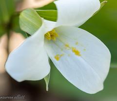 Pollen Spill (maureen.elliott) Tags: happymacromonday macro wildlfower trillium flower closeup pollen nature spring