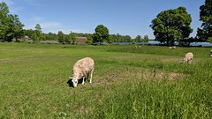 MVIMG_20190608_153436 (clefq) Tags: smpoole google pixel 2 htc mobile cell phone canada spring ontario upper village june 2019 sheep green