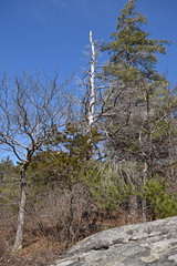 white pines with smaller red oak and red cedar (ophis) Tags: bluehill bluehillsreservation canton