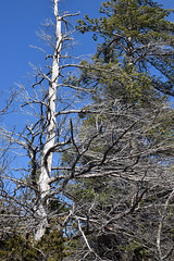 white pines (ophis) Tags: pinales pinaceae pinus pinusstrobus whitepine snag