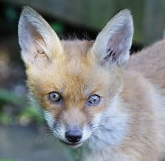 eyes 2 (lesrowe54) Tags: red fox cub redfox