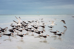 Birds and the ocean (Edita Ruzgas / editaruzgas.com) Tags: seagulls sarasota florida us beach summer seaside key siesta birds ocean blue art fine nikon water closeup white black