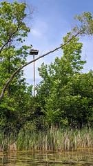 MVIMG_20190609_145753 (clefq) Tags: smpoole google pixel 2 htc mobile cell phone canada spring ontario bald eagle nest portland rideau lake big