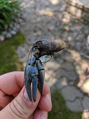 MVIMG_20190609_140832 (clefq) Tags: smpoole google pixel 2 htc mobile cell phone canada spring ontario crawfish