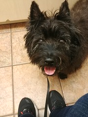 0313190952a (lawatha) Tags: bailey dog 4 legged family cairnterrier cairn terrier