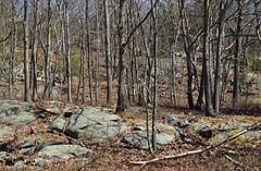 oak terrace (ophis) Tags: bluehill bluehillsreservation redoak quercusrubra