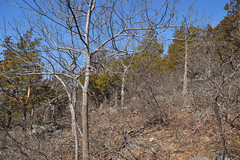 pignut hickory with scrub oaks (ophis) Tags: bluehill bluehillsreservation caryaglabra pignuthickory