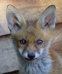 look into my eyes (lesrowe54) Tags: red fox cub redfox