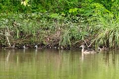 Wood Duck Family (jwfuqua-photography) Tags: peacevalleynaturecenter jerrywfuqua jwfuquaphotography pennsylvania buckscountyparks buckscounty nature duck woodduck waterfowl birds