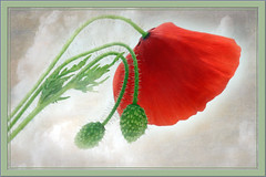 Crazy Tuesday....one single flower (Sue Armsby) Tags: flowers flora poppy red green buds leaves texture fun outside nature crazytuesday onesingleflower intriguing armsbysue