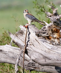 June 6, 2019 - An American kestrel and its slithering lunch. (Bill Hutchinson)