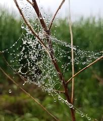 (claudine6677) Tags: wassertropfen spinnennetz regen tröpfchen drops spider web rain waterdrops nature