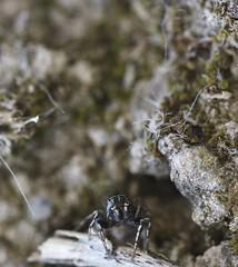 araignée sauteuse (LiliFlora11) Tags: araignée sauteuse salticidae aracnide macro nature