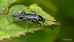 Cockroach, Pseudomops sp. (Ecuador Megadiverso) Tags: andreaskay blattodea cockroach cucaracha ecuador pseudomopssp