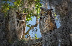 Great Horned Owl Pair (Chris St. Michael) Tags: bird birdofprey greathornedowl owl wildlife wildlifephotography nature naturephotography