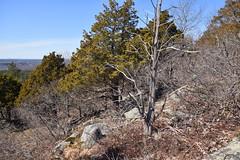red cedar snag (ophis) Tags: bluehill bluehillsreservation canton pinales cupressaceae juniperus juniperusvirginiana redcedar comp
