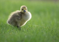 Canada Goose Gosling (NicoleW0000) Tags: canadagoose goose gosling waterfowl bird cute nature wildlife outdoors grass backlit yellow