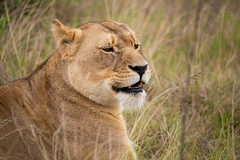 Lion (RickG59) Tags: south africa lion animal cat