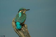 Kingfisher (mariajames414) Tags: kingfisher bird