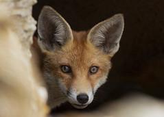 Fox (vulpes vulpes) (Steve Ashton Wildlife Images) Tags: fox cub foxcub vulpes vulpesvulpes
