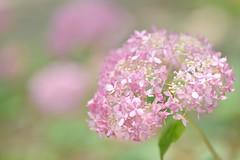 pink hydrangea (snowshoe hare*(catching up)) Tags: dsc1154 hydrangea flower 紫陽花 アジサイ アナベル pink annabelle