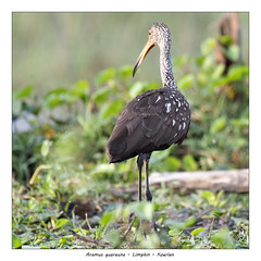 Limpkin (Jan H. Boer, Nature photographer) Tags: aramusguarauna limpkin koerlan birds nature wildlife wetlands costarica loschiles nikon d500 afsnikkor200500f56eedvr jan´sphotostream2019