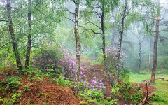 Summer woods (J C Mills Photography) Tags: peakdistrict derbyshire stantonmoor woodland mist fog trees birch rhododendron flowers ferns