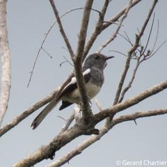 Copsychus saularis (Oriental Magpie Robin) female