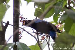 Irena puella (Asian Fairy Bluebird) male (GeeC) Tags: tatai animalia irenidae irena nature chordata kohkongprovince cambodia irenapuella passeriformes aves asianfairybluebird birds passerines
