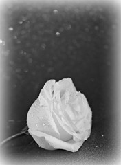 2019 Sydney: Black and White Rose (dominotic) Tags: 2019 bwrose flower rose waterdrops blossom blackandwhite sydney australia