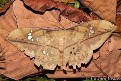 Saturniid moth (Copaxa sp.) (edward.evans) Tags: saturniidae saturniid lepidoptera copaxa moth insect invert sierradelmerendón merendónmountains merendon merendonmountains honduras cusuco cusuconationalpark cloudforest rainforest wildlife nature centralamerica latinamerica