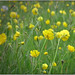 Fresh buttercups (ranunculus)