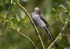 Long Tailed Tit Fledgling (Mick Erwin) Tags: ltt long tailed tit fledgling nikon afs 600mm f4e fl ed vr lens tc14e teleconverter iii d850 mick erwin stoke trent staffordshire wildlife nature