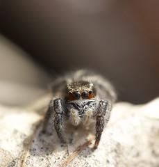 araignée sauteuse (LiliFlora11) Tags: macro nature araignée aracnide sauteuse salticidae