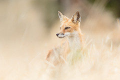 Fox in the Tall Grass (just4memike) Tags: animal beautiful blurredbackground brush bush elegant eye fox fur golden mammal nature red small stare wildlife