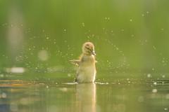 ''le téméraire!'' Bébé colvert-Mallard (pascaleforest) Tags: oiseau bird animal passion nikon nature wild wildlife faune canada québec duck canard