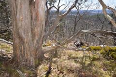 red cedar bole (ophis) Tags: cupressaceae redcedar bole juniperus juniperusvirginiana pinales bark trunk bluehillsreservation bluehill