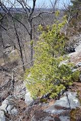 pitch pine sapling (ophis) Tags: pinaceae pinus pinusrigida pitchpine bluehill bluehillsreservation